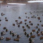 Свистунок и нырок обнаружены в парке Кузьминки-Люблино